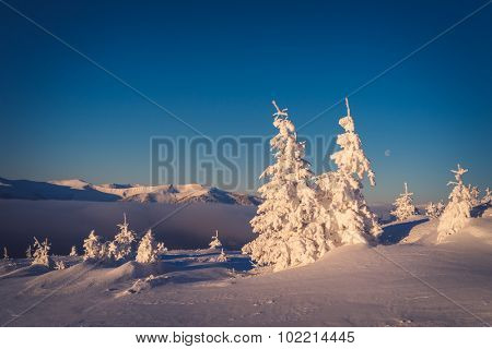 Winter landscape. Snow covered fir trees. Morning in the mountains