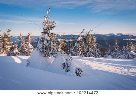 Winter landscape with fir trees in snowdrifts. Sunny morning in the mountains