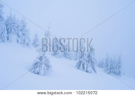 Snowy winter in a mountain forest. Landscape with fir trees under the snow. Color toning