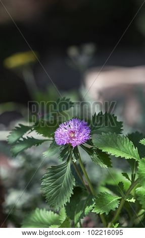 Blue boy bachelor button wildflower, cornflower, Centaurea cyanus