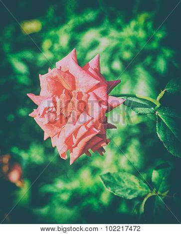 Beautiful pink color dahlia flower on garden