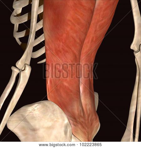 skeleton human body muscls