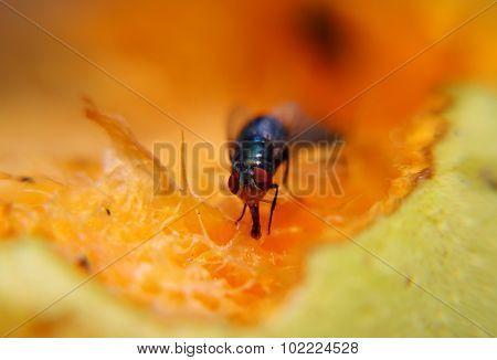 Fruit Fly Sucking Sweet From Ripe Fruit