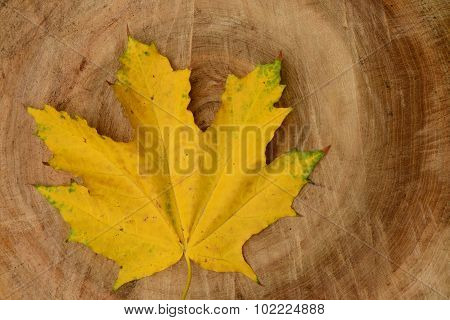 Fallen Yellow Maple Leaf On The Sawed Be Lazy Linden Wood Texture Background