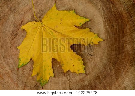 Yellow Fallen Maple Leaf On A Linden Tree Log