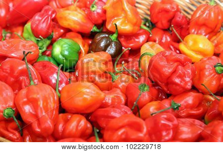 Spicy Red Habanero Type Chile Peppers