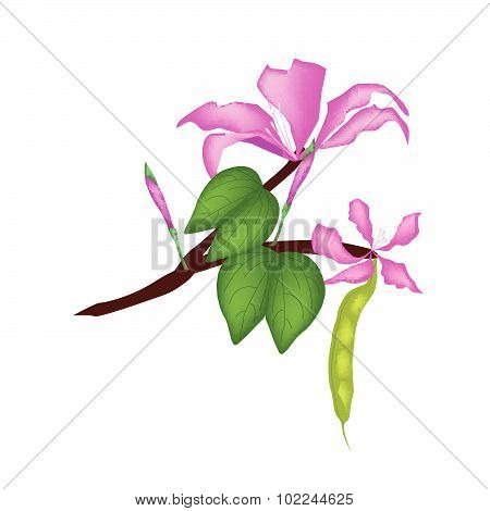 Bauhinia Purpurea Or Orchid Tree On White Background