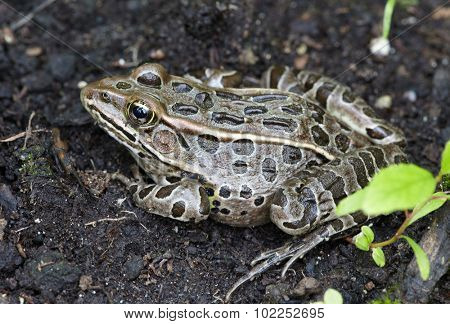 Frog. Bufo true toads or western toad in the garden.