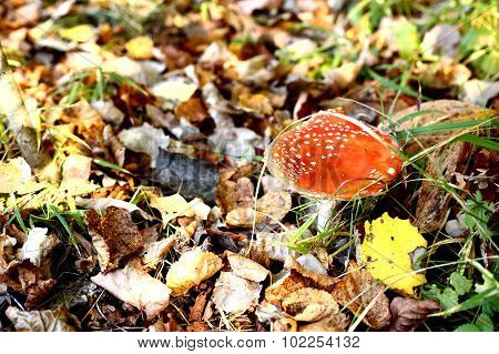 red cap mushroom on the autumn fall forest