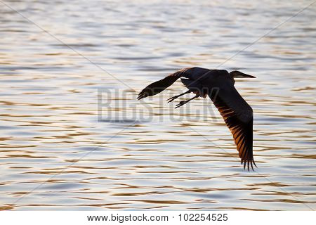 The Great Blue Heron Is Flying At Malibu Lagoon