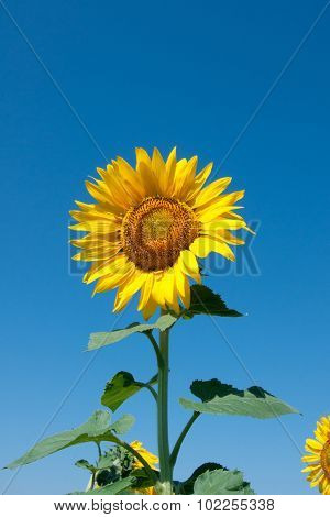 yellow sunflower on blue sky
