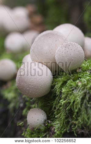 Puffball Mushrooms On A Stump