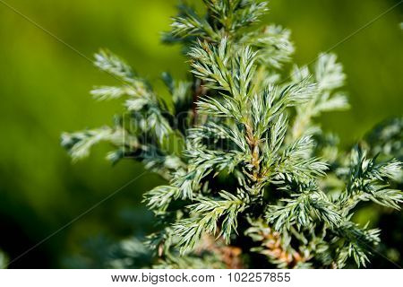 Branches of juniper