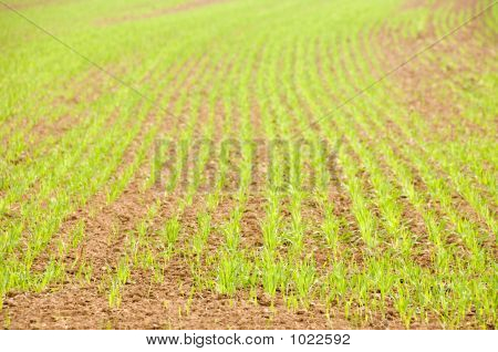 Young Crops