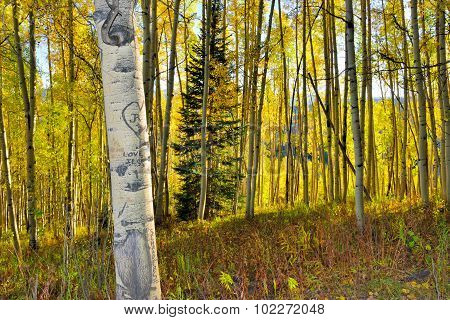 Forest Of Tall Yellow And Green Aspen During Foliage Season