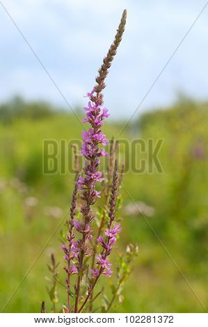 Blooming purple loosestrife in nature