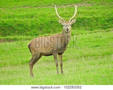 Stag or hart the male red deer