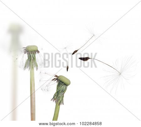old dandelions and flying seeds isolated on white background