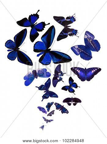 large group of blue butterflies isolated on white background
