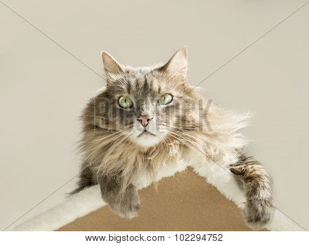 Domestic Siberian cat sunbathing on a cat tree