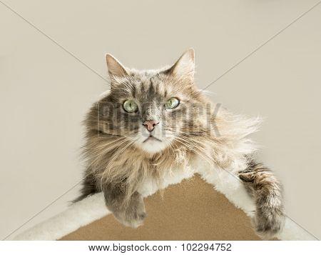 Domestic Siberian cat sunbathing on a cat tree