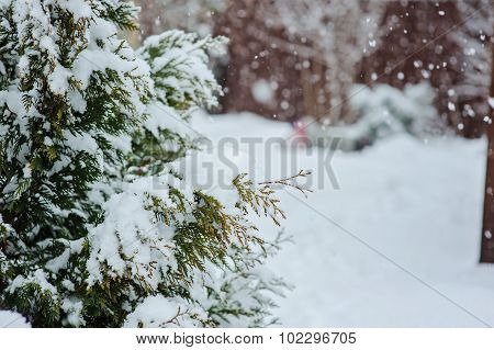 winter garden view with pine trees covered with snow