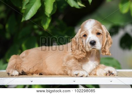 adorable american cocker spaniel puppy