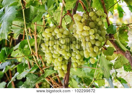 Fresh Green Grapes On Vine.