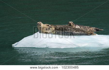 Trio Of Harbor Seals Sunning On Ice