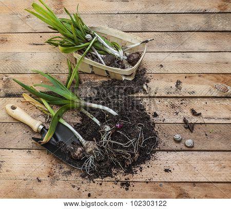 Dug Out After Flowering Hyacinths  And Garden Shovel