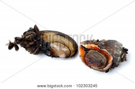 River Mussels (anodonta) And Veined Rapa Whelk