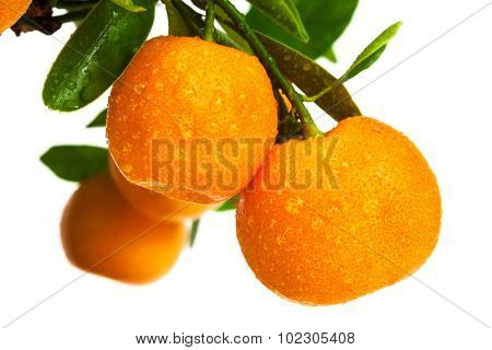 mandarins with drops of water on white background