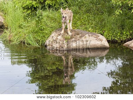 Lonely Wolf Pup with Reflection in Lake