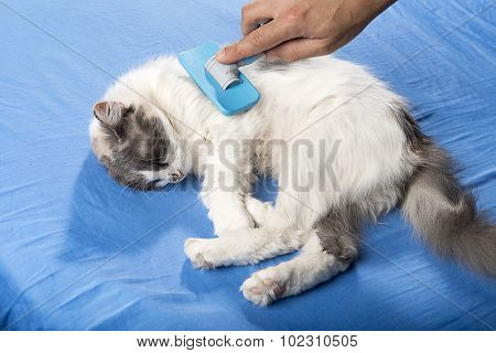 Male hand combing tricolor cat.