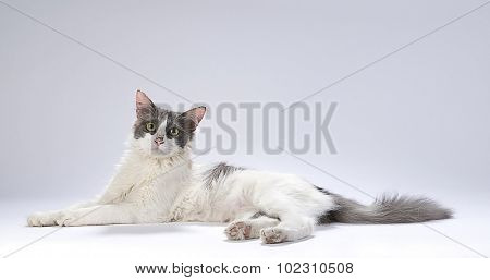 Domestic cat with space for your text.