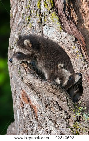 Two Young Raccoons (procyon Lotor) Tucked Into Tree
