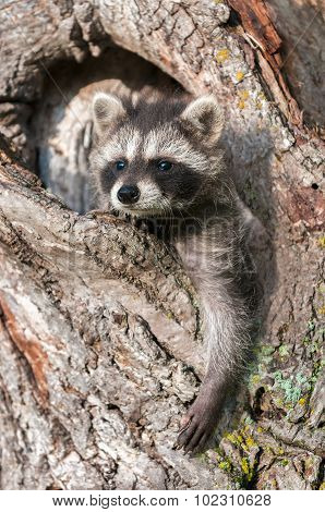Young Raccoons (procyon Lotor) Hangs Out In Tree