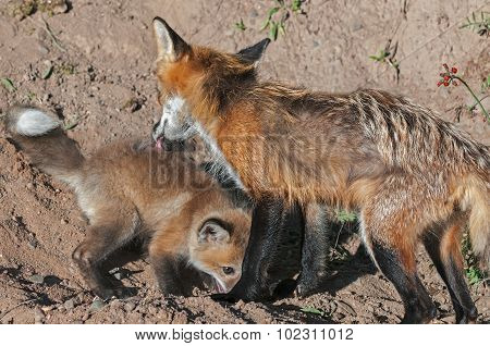Red Fox Vixen (vulpes Vulpes) Licks Kit