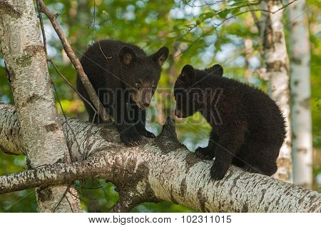 Young Black Bears (ursus Americanus) In Tree Confer