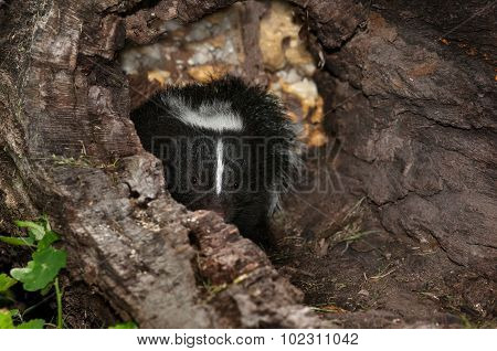 Baby Striped Skunk (mephitis Mephitis) Peeks Out Of Log