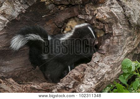 Baby Striped Skunk (mephitis Mephitis) Hangs Out In Log