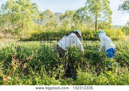 Red pepper plantation