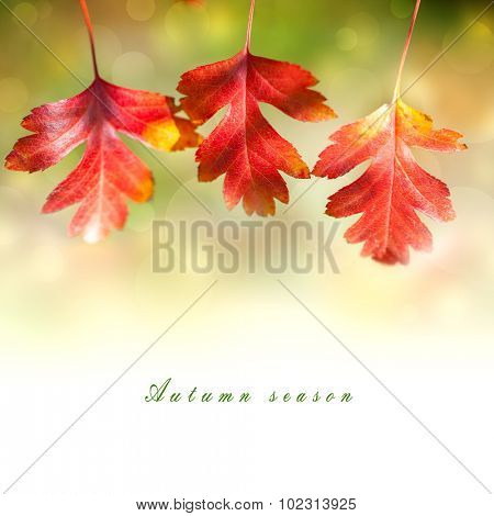 Design Border of  Autumn Red colorful Leaves  on white background with magical lights defocused