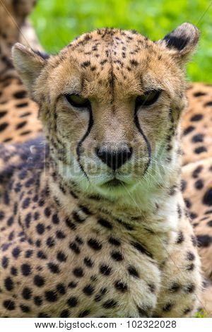 Cheetah Looking Forward Portrait