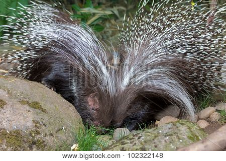 African Crested Porcupine Pair