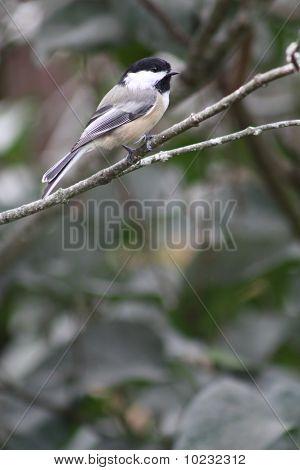Chickadee, Black-Capped