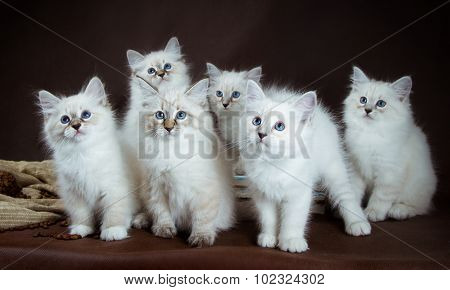 group of Neva masquerade  kittens on brown background