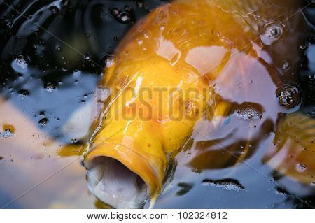 Koi Fish In A Pond