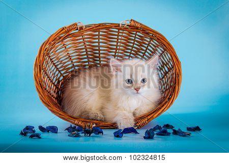 Neva masquerade  kitten in basket