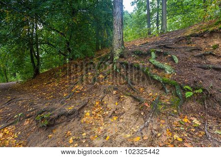 Roots Of Trees In Autumnal Forest.